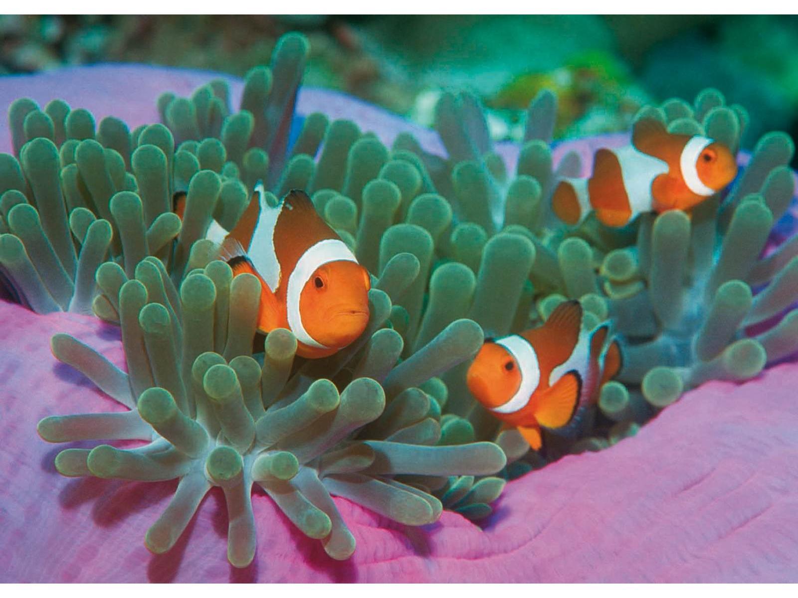 Clementoni puzzle 1000 pi ces clown fishes for Chambre complete adulte payer en plusieurs fois